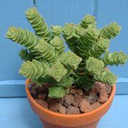Crassula - unique textures and forms Succulent Rock Garden, Grace Home, Cacti, Green Beans, Succulents, Texture, Plants, Cactus Plants, Surface Finish