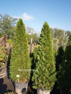 Tuja západná Smaragd (Thuja occidentalis Smaragd)