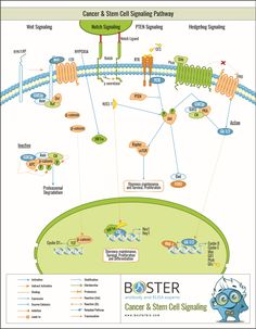 Boster - Cancer & Stem Cell Signaling Pathway