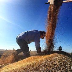 Sometimes you just gotta do it yourself #downonallfours #coppinabittahusk #hermidaleharvest #bigjob #harvest2015 #kuntrygram #onthe8thdaygodmadeafarmer @angus_currans  by kuntrygram