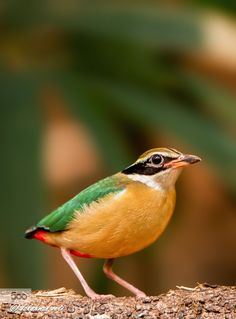 Inidan Pitta by LakshmanVeti Exotic Birds, Colorful Birds, Exotic Flowers, Pretty Birds, Love Birds, Beautiful Birds, N Animals, Extinct Animals, Animals Photos