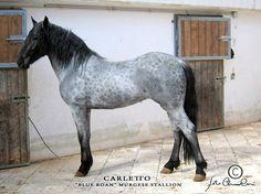 Reverse dapple blue roan horse - Murgese stallion
