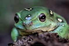 magnificent tree frog - Bing Images