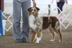 Halo, Say No More of Imagineer RNX, red merle c/w female Australian Shepherds, Best Dogs, Halo, Female, Red, Animals, Red Tri Australian Shepherd, Animales, Animaux
