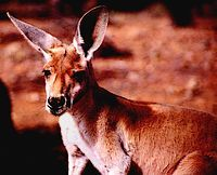 Find lots of cool info about Roos here!
