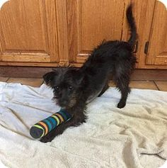 Lakewood, CA - Terrier (Unknown Type, Medium) Mix. Meet MINDY, a dog for adoption. http://www.adoptapet.com/pet/17848189-lakewood-california-terrier-unknown-type-medium-mix