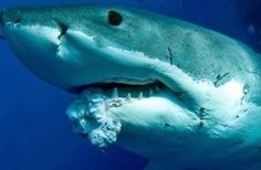 A look at the myth that sharks don't get cancer, a claim often touted by supplement vendors selling shark cartilage.