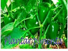 Como transplantar mudas de pimentões, compartilhe dicas de jardinagem - YouTube