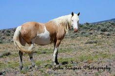 Cheyenne, Sand Wash Basin's mare. Photo by John Wagner