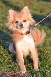 Ladybug is an adoptable Chihuahua Dog in Powell, OH. Ladybug is a year and a half long hair chihuahua/Pomeranian. She can be described as the little energizer bunny, she is full of energy at all time...