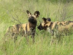 Africa |  Wild dog, also known as the African Hunting Dog, Cape Hunting Dog, or Painted Hunting Dog |  © Arno & Louise Wildlife, via Flickr