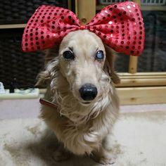 ついにわたしの番ね お洋服とかアクセサリーが好きじゃないきらりさんですが、今回はイヤイヤしなかったしナカナカ良い顔で撮らせてくれました✨✨✨ 写真にして見ると、あらためて「オメメ白くなったなぁ~・・・」って思う。  #犬 #いぬ #イヌ #わんこ #ワンコ #愛犬 #動物 #ダックスフンド #ダックス #ミニチュアダックスフンド #ミニチュアダックス #パイボールド #dog #dogs #animal #animals #dachshund #miniaturedachshund #longhaireddachshund #longhairedminiaturedachshund #piebald #EOS_M3 #EOSM3 #EOSM #キャノン #CANON #高齢犬 #シニア犬 #白内障