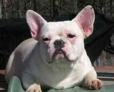 Jackson: French Bulldog, Dog BRYANS ROAD, MD  RETIRED Breeder Adult French Bulldog Jackson  Male, age 6 (DOB 6/12/06). Great with kids, cats & female dogs. UTD on all vaccines. AKC Reg. Has minor allergies that are not costly. He is  partially deaf but that doesn't effect him in any way. Jackson needs to be in a home with all female dogs. He has retired from a breeding program for 2 years. REQUIRED: App, Spay Certificate, References and Home Check  ~Rivers All Pet Rescue, Bryans Road, MD
