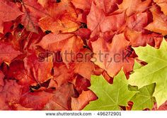 Background of red leaves. Green maple leaves. Golden autumn.