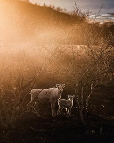 ~ The golden sunlight lighting up the reindeer family in Kilpisjärvi Finland - photo by K. Midnight Sun, Finland, Sunlight, Reindeer, Cosy, Wildlife, Around The Worlds, Horses, Photo And Video