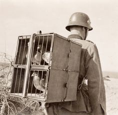 Shorpy Historical Photo Archive :: Mobile Communication: WWII. Carrier Pigeons were used by both sides carrying coded messages