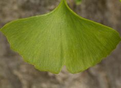 Mysterious ginkgo biloba is also known as maidenhair tree, the tree of a thousand uses. It effectively supports the fight against cellulite, as well as Maidenhair Tree, Ecology Design, Sport Outdoor, Natural Products, Healthy Lifestyle, Plant Leaves, Nature, Plants, Naturaleza