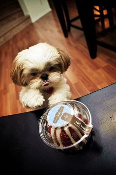 Even little Shih Tzus love red velvet!