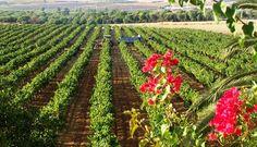 Cae un 18% la producción de uva en la DO Condado de Huelva http://www.vinetur.com/2013101813658/cae-un-18-la-produccion-de-uva-en-la-do-condado-de-huelva.html