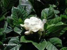 gardenia | Foto de flor de gardenia