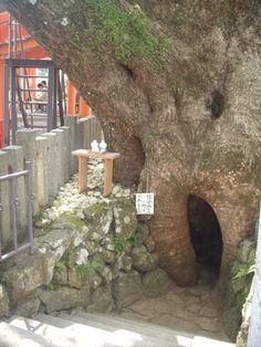 A big tree you can climb into near Nachi shrine, Nachikatsuura town! In Wakayama.