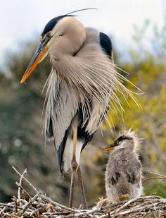 Great blue herons by Mark Renz