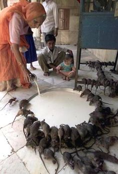 Temple where rats are treated with kindness and a regular bowl of milk :D Rats are very intelligent and sensitive animals. <3 (I know a lot of people don't like rats, but I'm not one of them.)