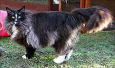 Black with white Norwegian Forest Cat -- he's huge!