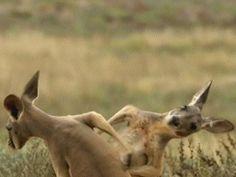 Kangaroo Boxing 5