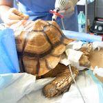 Turtle surgery so awsome