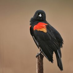 Red-winged blackbirds [ Agelaius phoeniceus] are back! by Red~Star on Flickr.