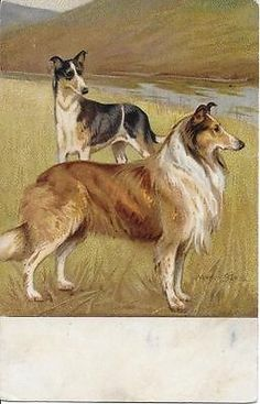 VERNON STOKES rough & smooth COLLIE dogs in meadow old postcard