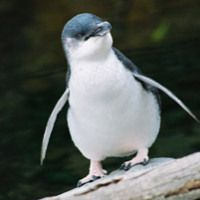 Little Blue Penguin Facts for Kids - Fairy Penguin Facts...and video