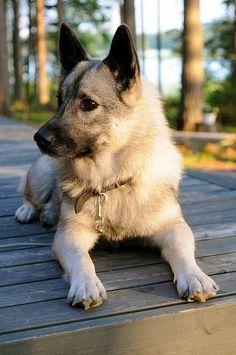 Norwegian Elkhound by Robban Andersson Cute Dogs Breeds, Dog Breeds, Elkhound Puppies, Animals And Pets, Cute Animals, Wild Animals, Baby Animals, Norwegian Elkhound, Spitz Dogs