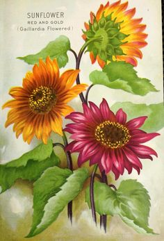 Sunflower red and gold (Gaillardia Flowered). Ferry's Seed Annual 1925 vintage seed packet. Garden Catalogs, Seed Catalogs, Art Vintage, Vintage Prints, Seed Art, Vintage Seed Packets, Seed Packaging, Vintage Gardening, Sunflower Art