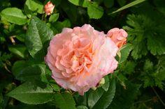 Augusta Luise pörhistelee | Vesan viherpiperryskuvat – puutarha kukkii