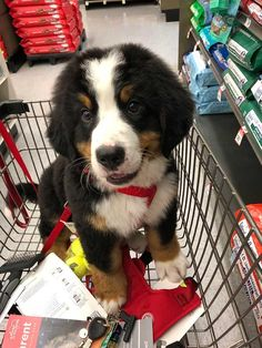 24 Most Beautiful Bernese Mountain Dogs and Puppies to Brighten Your Day - JustViral.Net - 24 Most Beautiful Bernese Mountain Dogs and Puppies to Brighten Your Day – JustViral. Baby Animals Pictures, Cute Animal Photos, Cute Baby Dogs, Cute Dogs And Puppies, Doggies, Cute Dogs Breeds, Dog Breeds, Cute Funny Animals, Cute Baby Animals