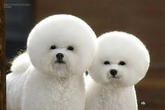 awww gotta love bichons reminds me of my baby river without the fufu haircut