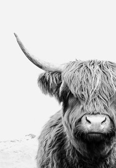 Highland Cow Print by Little Ink Empire - Gorgeous Black and White Highland Cow Art by Little Ink Empire available in a range of sizes. Highland Cow Art, Highland Cattle, Animals Black And White, Black And White Wall Art, White Cow, Black Cow, Black And White Posters, Amazing Animals, Fluffy Cows