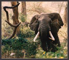 Amboseli National Park, Kenya | Elephant at Amboseli National Park, Kenya | Flickr - Photo Sharing!