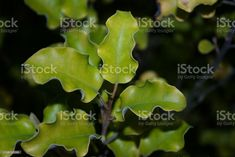 Pittosporum Tenuifolium (Kohuhu) Pittosporum Tenuifolium is also known by it's Maori name Kohuhu.New Zealand's plant life is to Kiwis, something that is iconically New Zealand. Many of these plants native environments are indigenous only to New Zealand/ Aotearoa. New Zealand Stock Photo Parts Of A Plant, Video Image, Photo Illustration, Image Now, Botany, Background Images, Royalty Free Images, Stock Photos, Plants