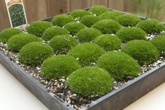 We love using moss for lots of reasons, but we love it most because of it's modern shape and feel. If you are willing to get your hands a little dirty this do-it-yourself project is budget friendly and averages out to under $2/each. Let's get started.  Supplies + Sources:Mini Terra Cotta pots $1/each Home DepotTray of Irish Moss $12/ for a tray of 25 Home DepotMetallic Spray Paint $5 Home DepotRibbon (optional) $3/spool Paper Source   Step1: Paint it Shiny - Lay out some scrap paper out...