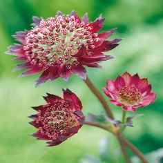 Astrantia major Moulin Rouge - 1 plant Buy online order yours now