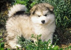 Alaskan Malamute aka adorable ball of fluff