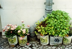 sweet & easy repurpose: old olive tins for growing flowers.