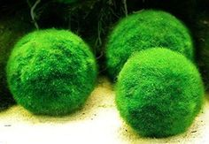 3 Giant Marimo Moss Ball (1.5 inch to 2 inch) + one small marimo Free!(ship from UK) Live Aquarium Aquatic Plant for Fish/shrimp Tank for discus betta decor ornament crystal red shrimp cheapest diffuser Co2 fern java Anubias where buy what is how to grow japanese japan algae aegagropila terrarium bonsai pets easy home plant air rare ada coral reef saltwater brackish: Amazon.co.uk: Pet Supplies