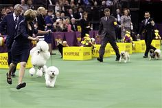 Honor, a Bichon Frise, and winner of the non-sporting group, is shown during the Westminster Kennel Club dog show Monday, Feb. 11, 2013, at Madison Square Garden in New York.(AP Photo/Frank Franklin II)