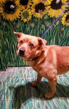 GARRETT - 16-410 - URGENT - TOWN OF BABYLON ANIMAL SHELTER in West Babylon, NY - ADOPT OR FOSTER - Adult Male Chow Chow Mix