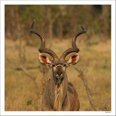 Botswana, Moremi: een mooi kudu mannetje wilde wel even voor mijn camera poseren. Moremi is een prachtig gebied met veel verschillende dieren en een heel afwisselend landschap. Door communitylid Kasangua - NG ReisCommunity © Upload zelf je mooiste foto's op www.nationalgeographic.nl/reizen/fotos/toevoegen