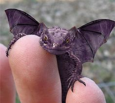 Baby Purple Lizard - Dragons are real!